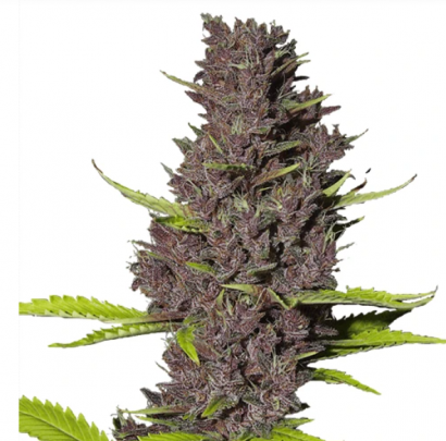 Blue dream weed strain