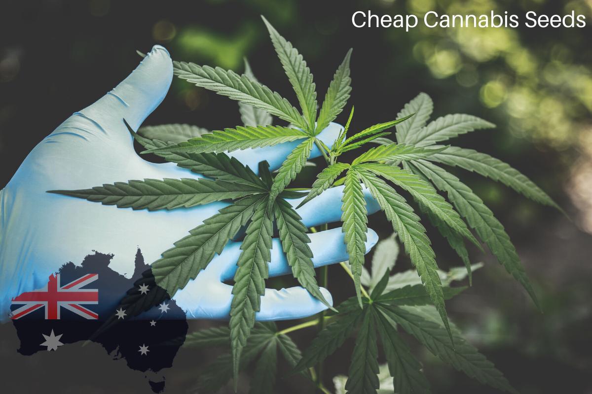 Cannabis-Seeds-Banner
