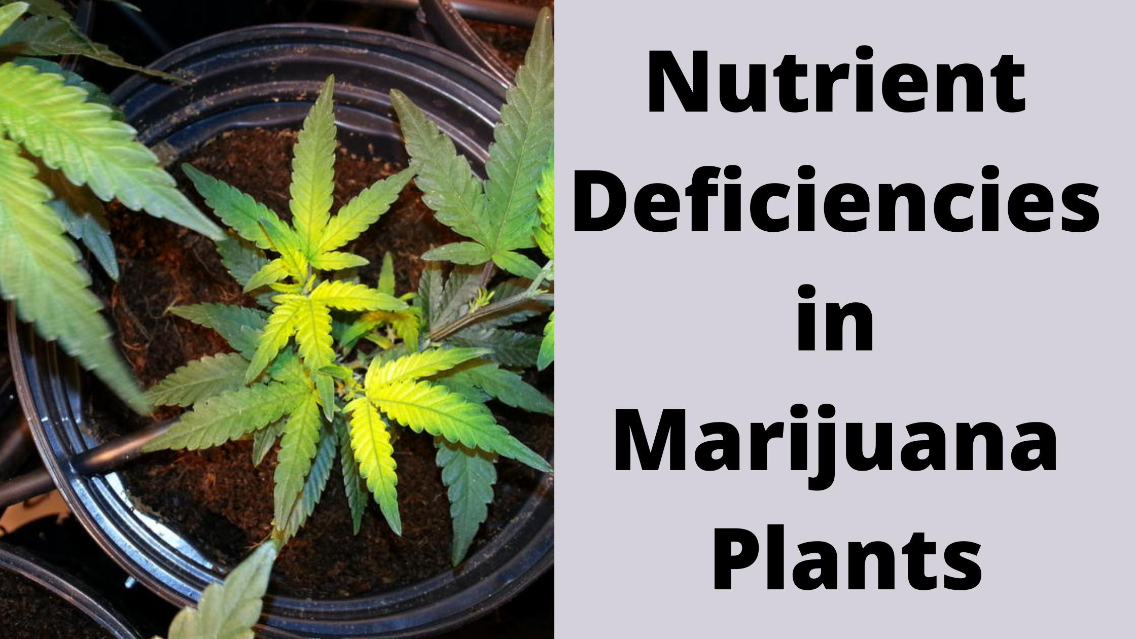 Nutrient Deficiency in Marijuana Plants