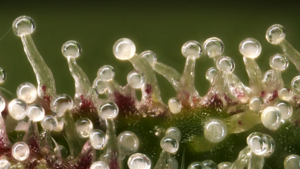 Cannabis Trichomes under microscope