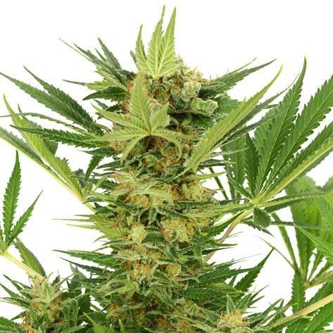 ak-47-cannabis-seeds
