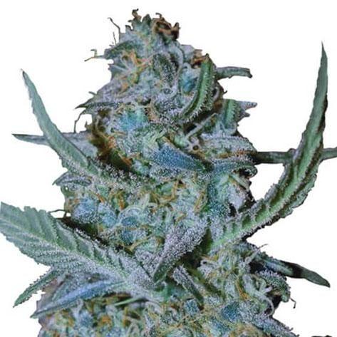 blue-cheese-strain