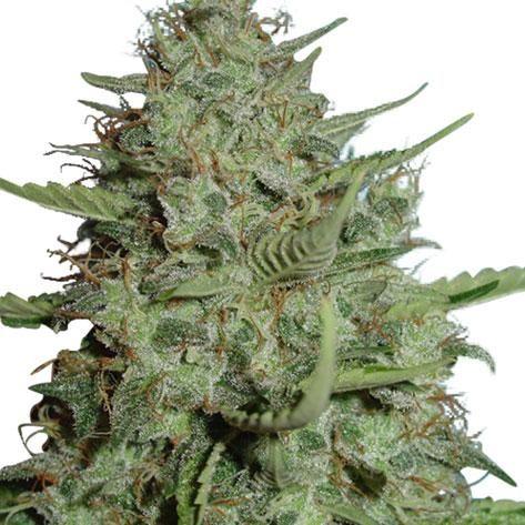 california-dream-strain